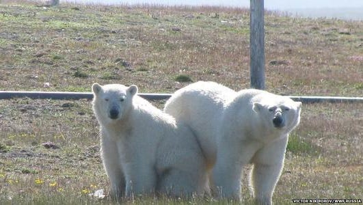 Polar bears on the Russian island of Vaygach in the Arctic have trapped a team of Russian  weather researchers in their weather station.