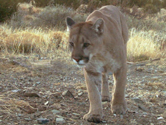 -LCJBrd2_11-20-2013_KY_1_A003~~2013~11~19~IMG_Mountain-lion-walk-5_1_1_VM5N9.jpg