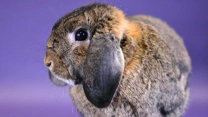 Addie the rabbit
