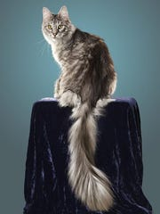 Cygnus Regulus holds the world record title for longest tail at 17.58 inches.
