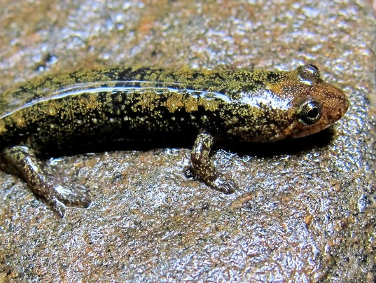 636265673620621753-Green-salamander-Lori-Williams-NCWRC.jpg