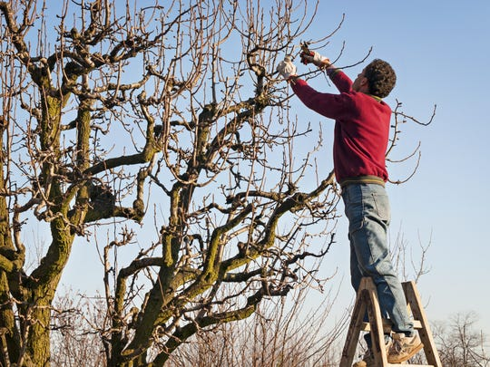 Now that the trees have become dormant for the winter you can begin pruning deciduous trees, but you should wait until late winter or early spring to prune roses (and grapevines).