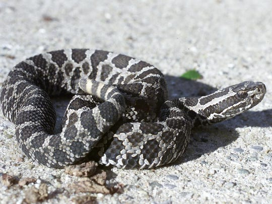 Michigan S Only Venomous Snake Now Federally Protected