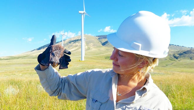 Kim Linnell of Montana Fish Wildlife and Parks holds a live hoary bat discovered at Spion Kop wind farm where FWP is conducting a post-construction study at the request of NorthernWestern Energy. The bat was released.