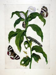 This 1705 drawing of butterflies around a tobacco plant