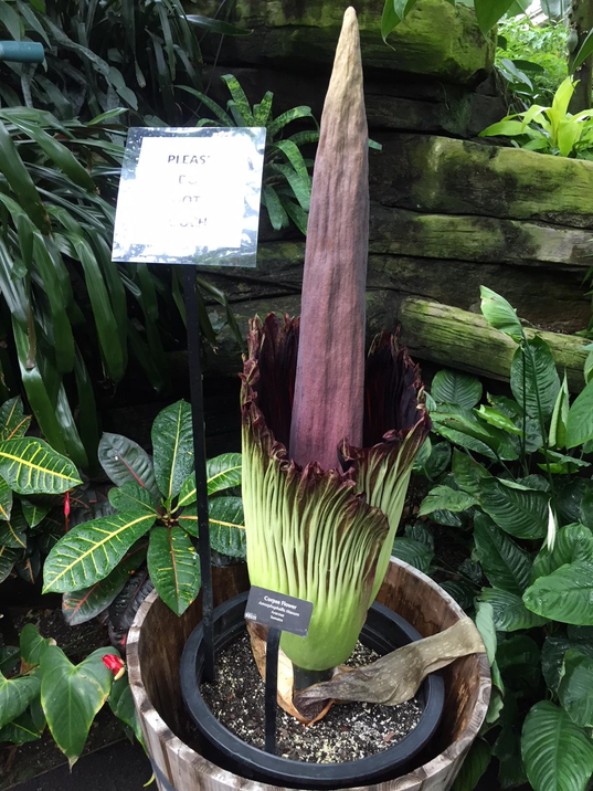 636644221633059958-corpse-flower.png