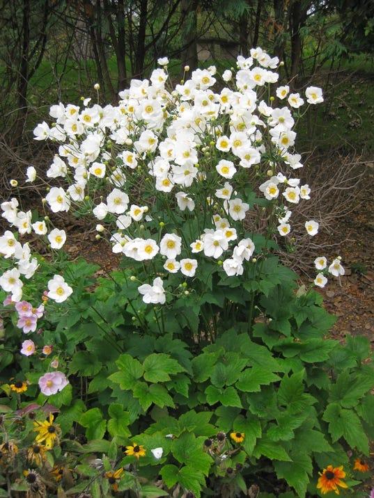 master gardening plant your own japanese anemone. Black Bedroom Furniture Sets. Home Design Ideas