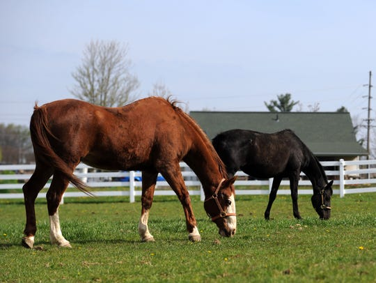 Mr. T and Joy graze in a paddock at the Home of Joy