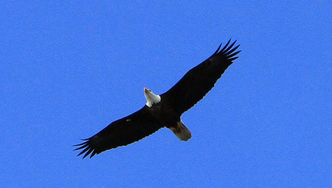 A bald eagle flies in the sky in 2013 in Croton, just as Park School first-graders were learning about eagles from Teatown Reservation staff members.