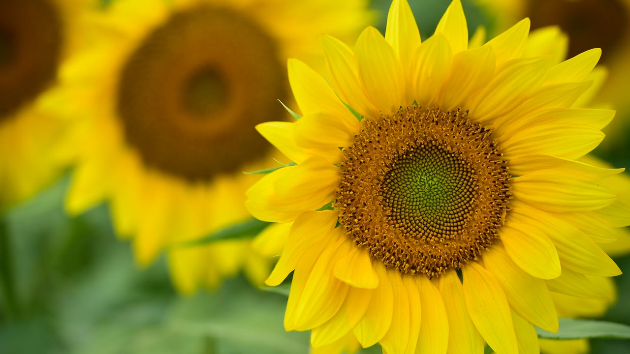The 2600 block of Springview Drive, Chambersburg, is home to this year's Sunflower Field.