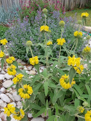 Some plants that are well-suited to grow in West Texas are Jerusalem sage (foreground), with catmint and autumn sage behind it and blue dune grass in the back.