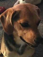 Humphrey is a 1-year-old, 35-pound, neutered-male hound/beagle
