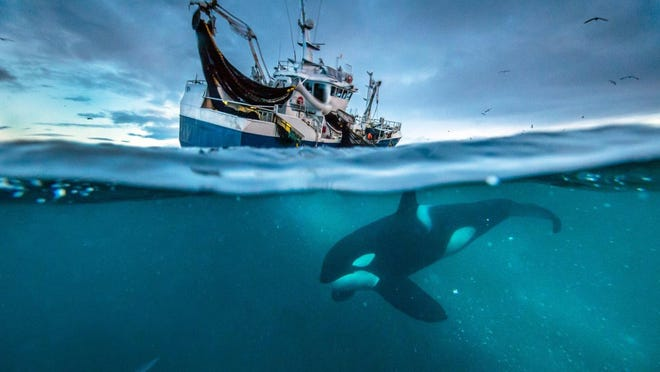 A herring boat in Norway, photographed during filming of Episode 7 of the series. Strict management of the country's herring fishery has saved it from complete collapse, with numbers of the fish now so high they have attracted huge numbers of humpback whales and orca.