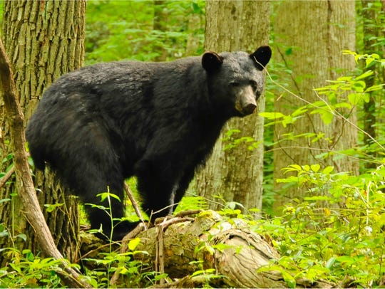 A black bear walks through a campground in the Great Smoky Mountains Park. The sprawling park that spans the border of Tennessee and North Carolina is home to 15,00-1,800 black bears.