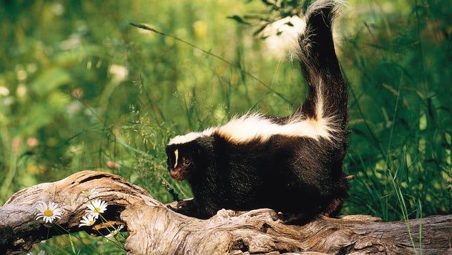 A skunk.