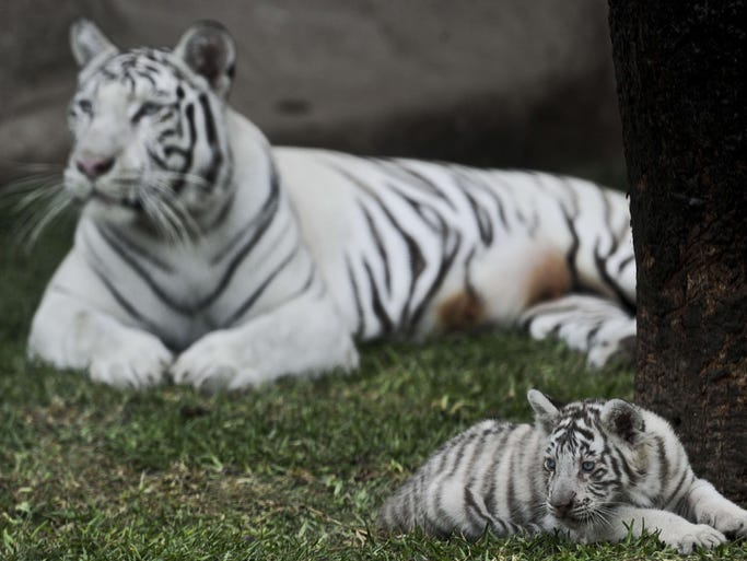A white Bengal cub rests with its mom at the Huachipa's zoo in Lima.