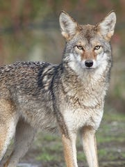 Coyotes, like the one pictured, are suspected in a recent fatal attack on a miniature pinscher in Farmington Hills.