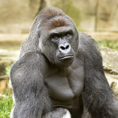 Harambe, a 17-year-old western lowland gorilla, was killed last month after a 3-year-old boy crawled through a barrier and fell into the moat in the gorilla enclosure at the Cincinnati Zoo & Botanical Garden.