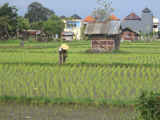 A farmer works the rice fields in Sanur, Bali.