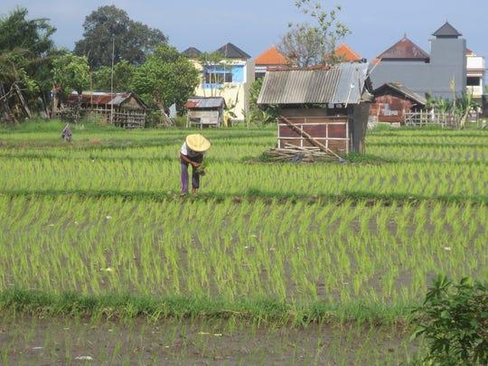 A farmer works the rice fields in Sanur, Bali.