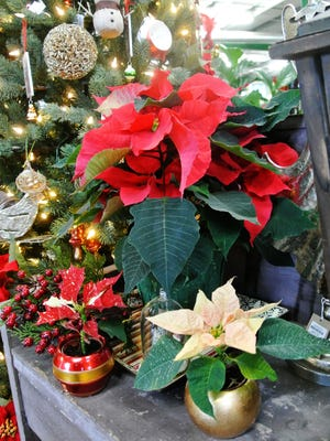 The poinsettia's botanical secret is this: Its beautiful red flowers are not flowers at all.