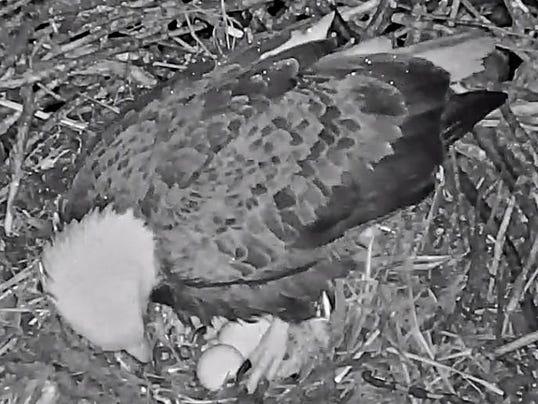 Eagle egg No. 2