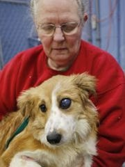 Fred, a rescued border collie, shows how infected his left eye was when animal control removed him from Randy Sanders' barn on Feb. 25, 2015. Fred's left eye was removed the day after this picture was taken.