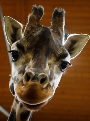 Is Nora, a Rothschild giraffe, having LSD-like hallucinations? Or could it be a tall tale?