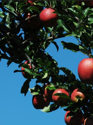 Gala apples are among the varieties grown at Weed Orchards in Marlboro.
