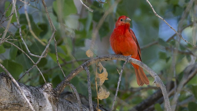 A Summer Tanager sits on a branch in Agua Fria National Monument north of Phoenix.