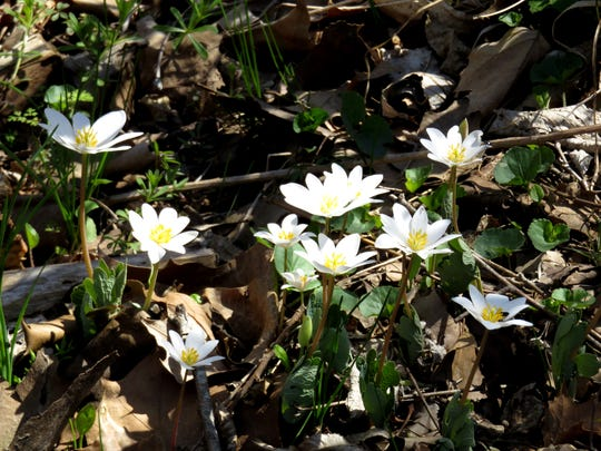 Bloodroot flowers at Busiek State Forest and Conservation Area.