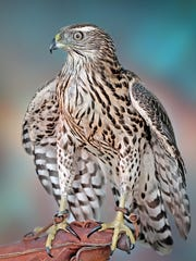 """""""Tethered Hawk"""" by Jerry Jordan of Livonia"""