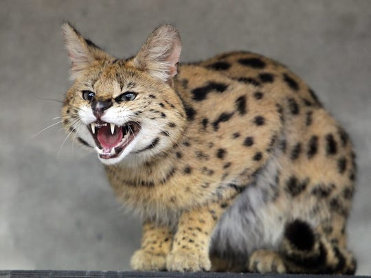 A serval hisses in its enclosure in a zoo in Leipzig, Germany on May 11, 2010. A Fairfield County sheriff's deputy  shot and killed a serval Sunday in Violet Township.