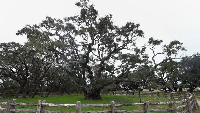 The Big Tree, a live oak estimated to be more than 1,000 years old, has long been a draw for visitors to Goose Island State Park.  And Texas Parks & Wildlife officials want input from the public on how to proceed with development plans around the iconic tree.
