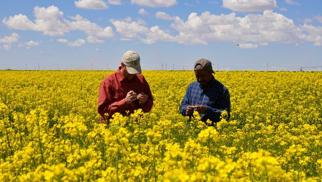 'Can canola be grazed' and 'what canola varieties are good for the region' are some of the topics to be discussed in the upcoming field day at Agricultural Science Center at Clovis on April 16, 2013.