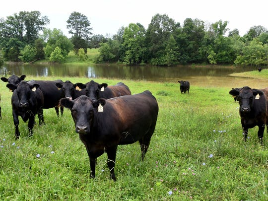 Cows now enjoy a full pond on the farm of Dave Cantrell