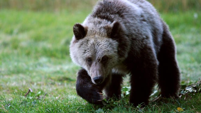 A grizzly bear cub forages for food a few miles from the north entrance to Yellowstone National Park in Gardiner, Mont. American Indians across the West have stepped into the debate about plans to remove federal protections for grizzly bears in the Northern Rockies.