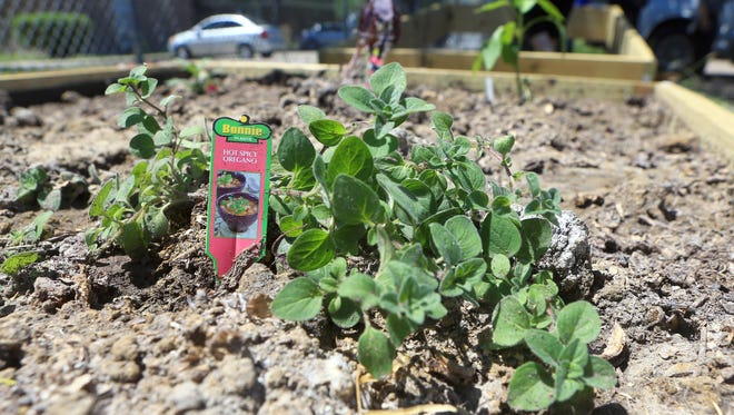 Hot spicy oregano is planted in the community garden on Monday, April 3, 2017, at the YWCA in Corpus Christi.