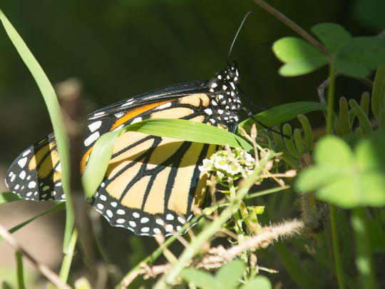 Photo of a newly emerged monarch butterfly from its chrysalides in the demonstration garden at Natural Bridges State Beach near Santa Cruz.