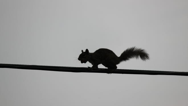 Squirrels can cause considerable damage to cables.