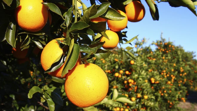 Orange grove.