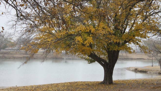 The leaves of a tree near the Pecos River turned a shade of yellow as the fall and winter weather crept into Carlsbad, Dec. 7 at the Pecos River.