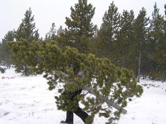 112908 Christmas tree