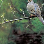 The Louisiana dove season will open on Sept. 5.