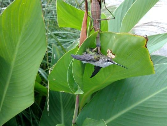This praying mantis had a grip on this hummingbird
