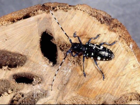 on beetle impact environment longhorned Asian