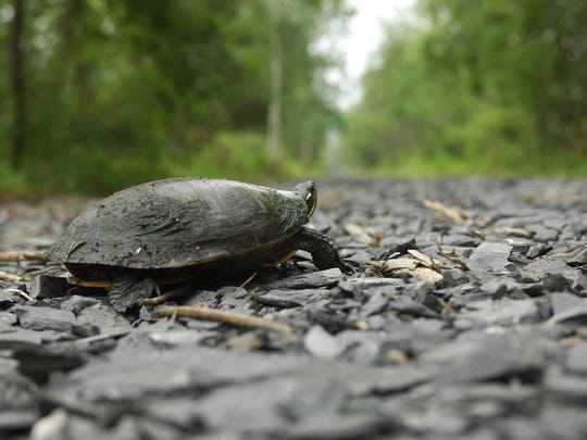 A turtle enjoys the new shale on a section of the Wallkill Rail Trail in Gardiner.