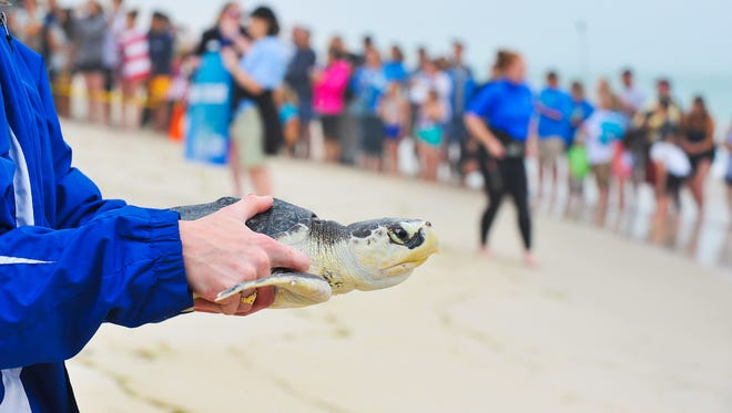 The National Aquarium released two rehabilitated juvenile green sea turtles at Assateague Island National Seashore along with 10 rehabbed Kemp's Ridley Sea Turtles from the Pittsburgh Zoo & PPG Aquarium and National Marine Life Center animal rescue programs. June 16th is also National Sea Turtle Day. Megan Raymond Photo