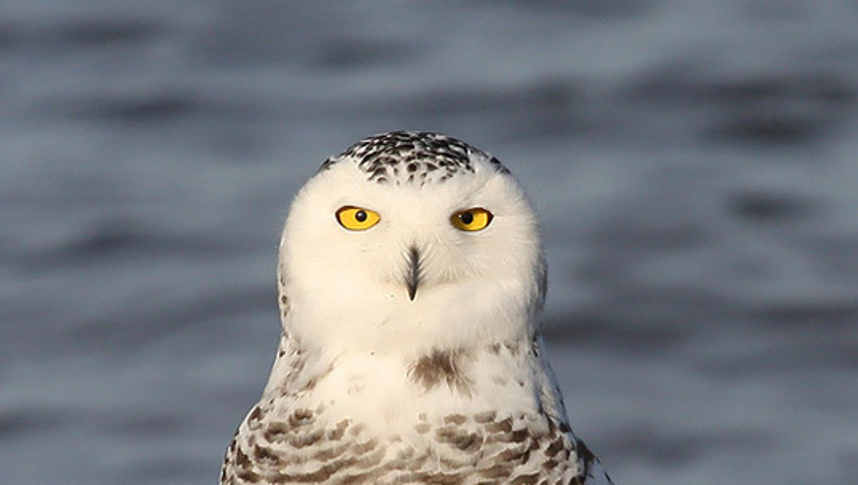 Snowy owls showing up in wisconsin biocorpaavc Choice Image