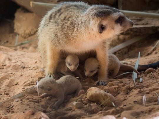 Cashew, a meercat at the Brevard Zoo gave birth to